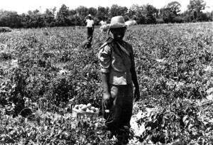 Illinois c.1939 Field workers in the tomato patch. Date is approximate; true date unknown. (f/16, 1/100).