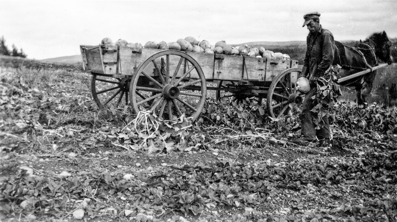 Canada - September 21, 1922: A turnip farmer with his horse and wagon harvesting in the field.