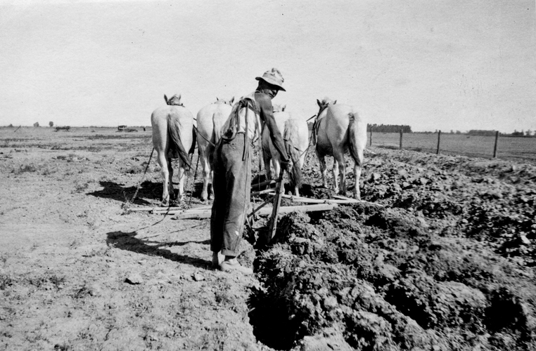 A farmer uses a four horse team to pull a four row weeder. c.1918